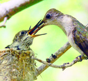 Black Chinned Hummingbird with Chicks