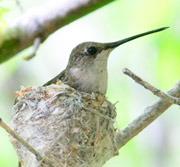 Black-Chinned Hummingbird Female in Nest