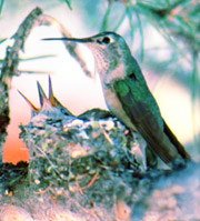 Broad Tailed Hummingbird with Chicks